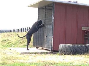 Dog german (danez) - imagine 5