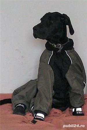 Dog german (danez) - imagine 9