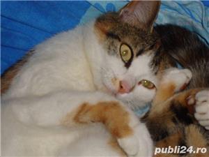 Donez motan si pisica de rasa - imagine 2