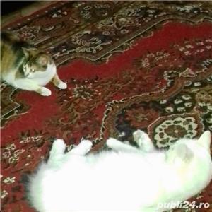 Donez motan si pisica de rasa - imagine 3