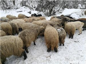 Vand oi si capre - imagine 2