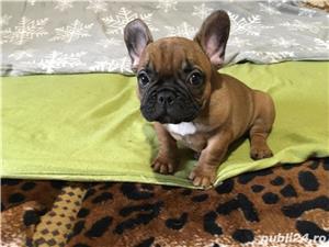 bulldog francez super oferta !!! - imagine 1