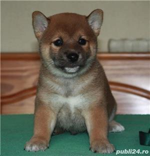 Shiba inu cu pedigree - imagine 1