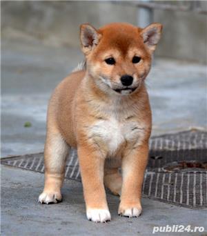Shiba inu cu pedigree - imagine 2