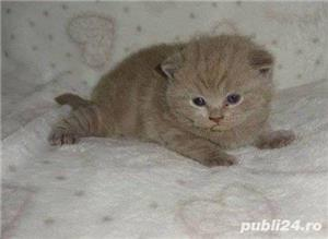 Vand british shorthair!! - imagine 5