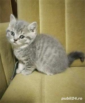 Vand british shorthair!! - imagine 4
