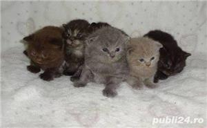 Vand british shorthair!! - imagine 6