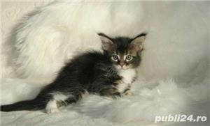 Vand maine/main coon!! - imagine 1