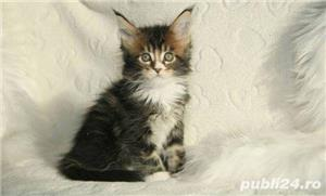 Vand maine/main coon!! - imagine 5