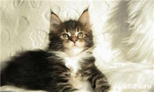 Vand maine/main coon!! - imagine 3