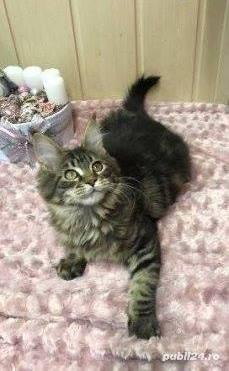 Vand maine/main coon!! - imagine 2