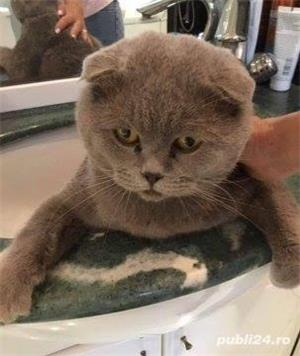 Vand scottish/scotish fold/british shorthair fold!! - imagine 2