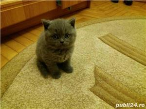 Fetite british shorthair blue! - imagine 2