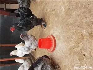 Cocos brahma bobat - imagine 5