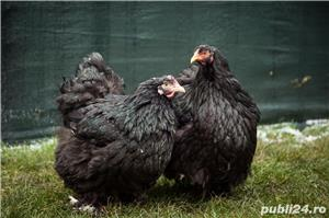 vand oua de incubat si pui de la gaini din rasa cochinchina urias 2020 Balotesti - imagine 4