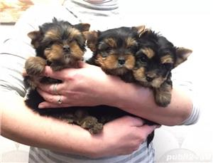 Yorkshire Terrier de Top, talie Teacup pentru Pretentiosi - imagine 3