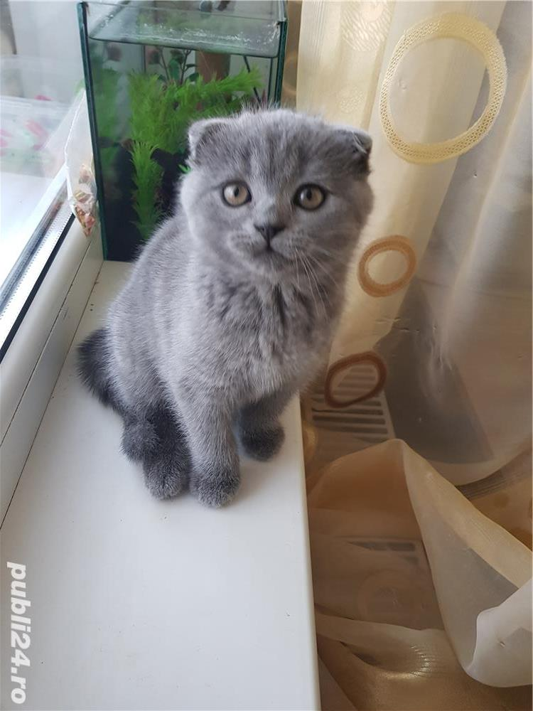Pisoi british shorthair si scottish fold - imagine 4