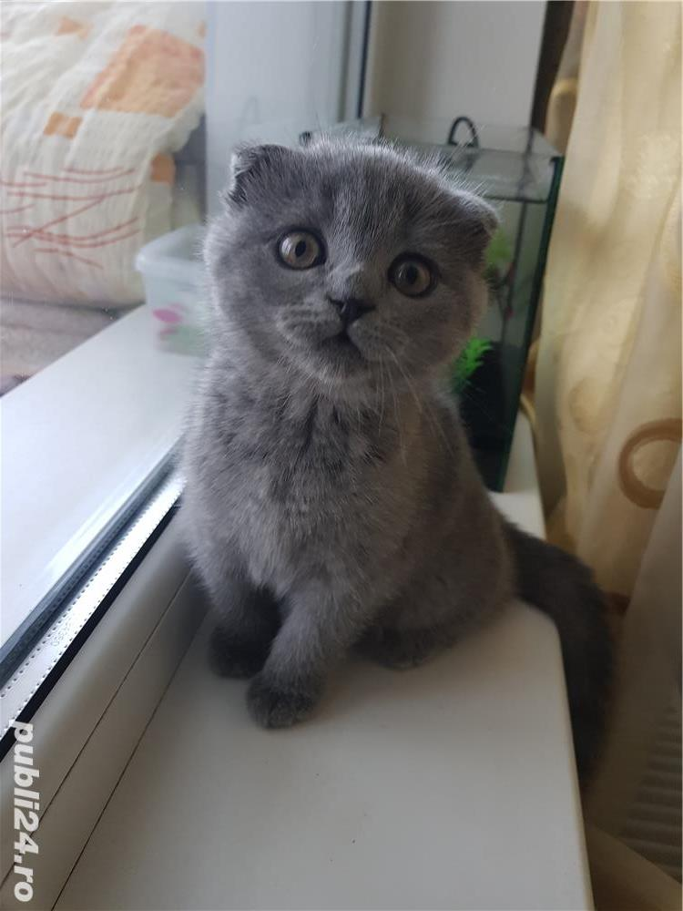 Pisoi british shorthair si scottish fold - imagine 5