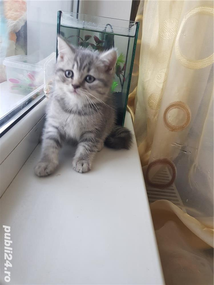 British shorthair silver tabby - imagine 2