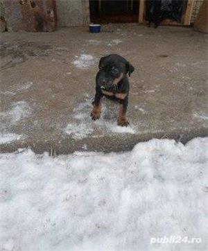 Pui de jagd terrier-jagdterrier pe negru si ciocolatiu!! - imagine 2