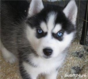 Husky Siberian rasa pura 100%-asigur transport - imagine 4