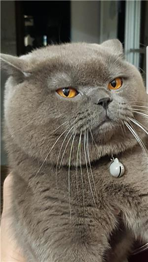 Motan British Shorthair Blue pentru monta - imagine 2