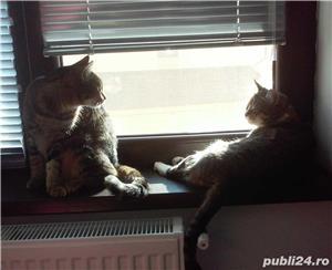 Cazare pisici in Bucuresti - imagine 1