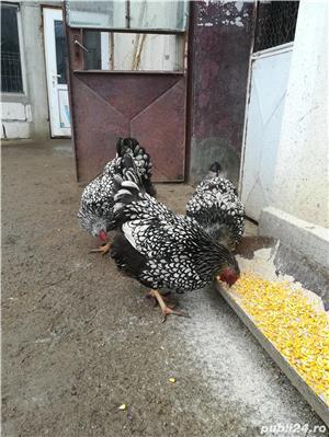 Oua  pentru incubat si pui de la gaini din rasa Wyandotte argintii - imagine 3