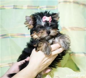 Vand Yorkshire Terrier talie mini - imagine 2
