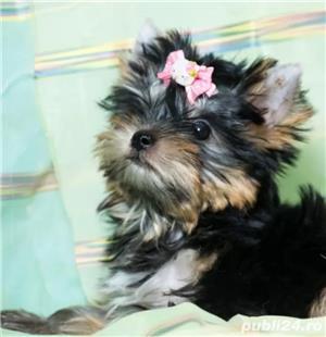 Vand Yorkshire Terrier talie mini - imagine 1