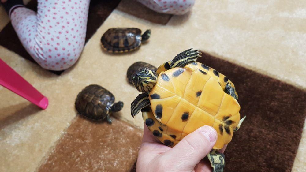 Broscuță țestoase - imagine 2