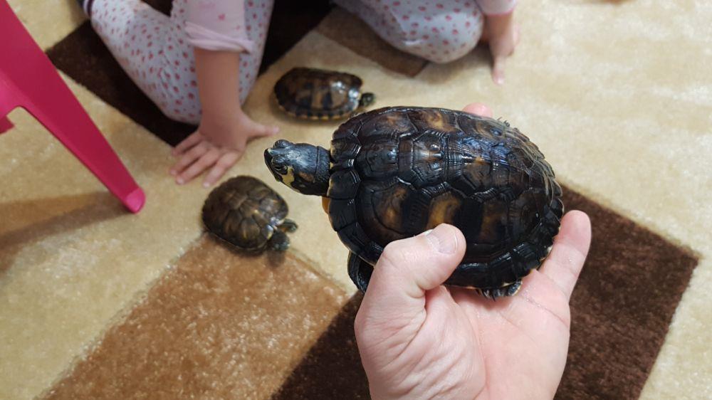 Broscuță țestoase - imagine 7