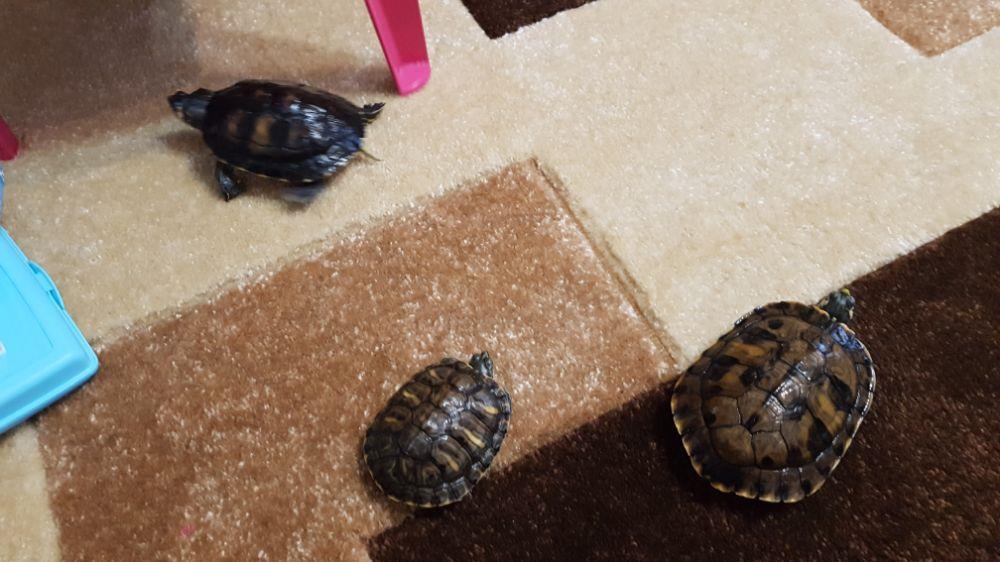 Broscuță țestoase - imagine 8