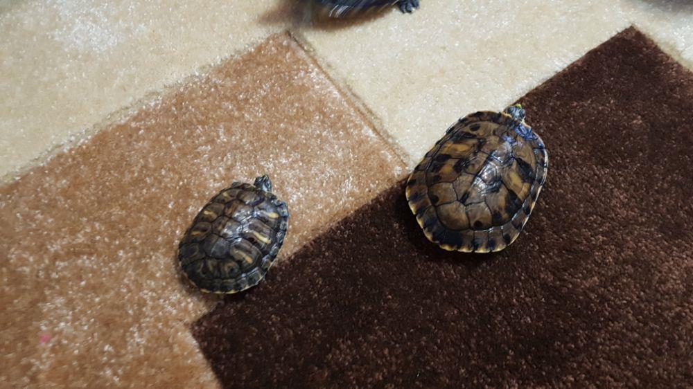 Broscuță țestoase - imagine 9