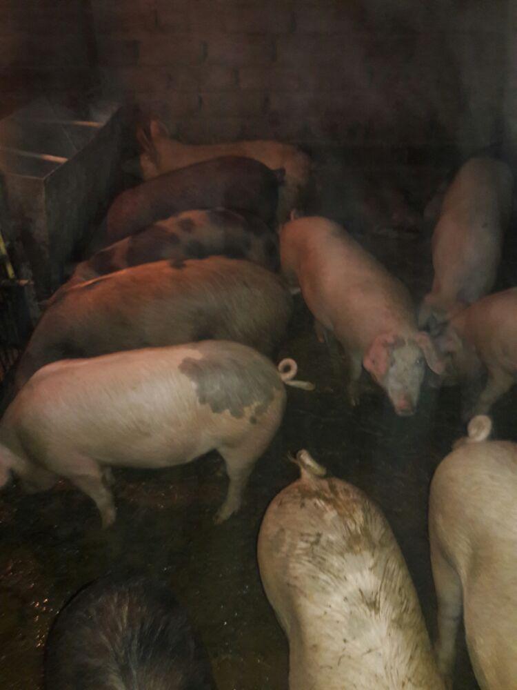 Porci rase de carne - imagine 1