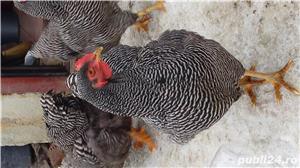 Ouă incubat - imagine 1