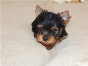 Yorkshire Terrier talie mini toy rasa pura - imagine 2