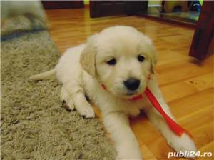 Vand Golden Retriever rasa pura la 2 luni - imagine 2