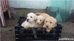 Labradori retriever - imagine 1