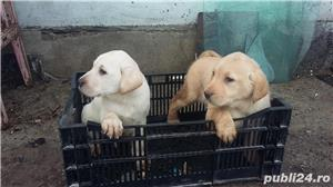 Labradori retriever - imagine 3