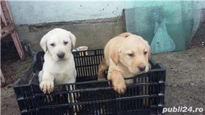 Labradori retriever - imagine 2