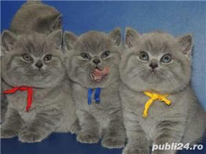 Puiuți British shorthair - imagine 2