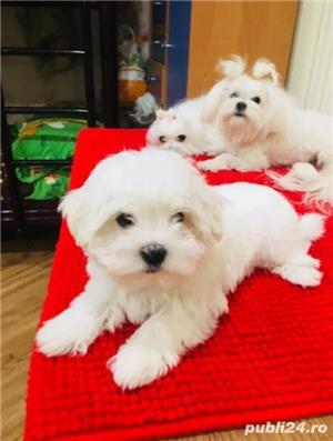 Bichon Maltez alb imaculat, masculi si femele - imagine 1