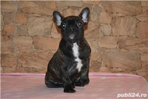 catelusi Bulldog Francez cu Pedigree ! - imagine 3