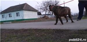 vand urgent!!!! catea  presa canario  - imagine 2