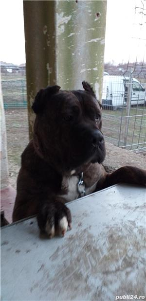 vand urgent!!!! catea  presa canario  - imagine 3