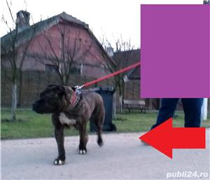 vand urgent!!!! catea  presa canario  - imagine 5
