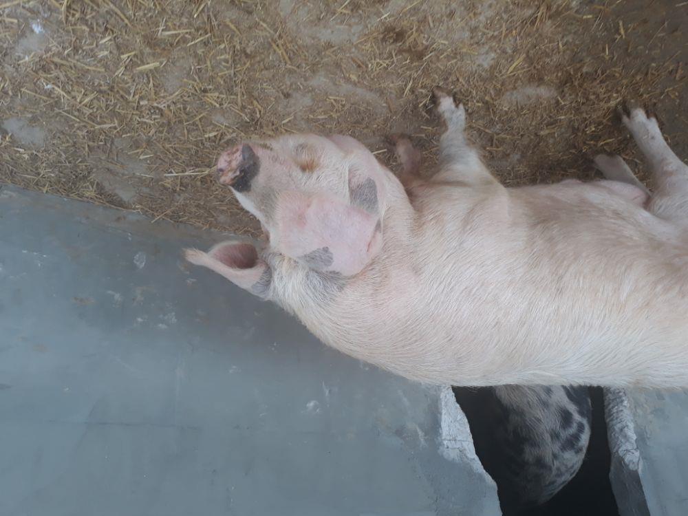 Vand porc de casa crescut natural 8 lei kg - imagine 2