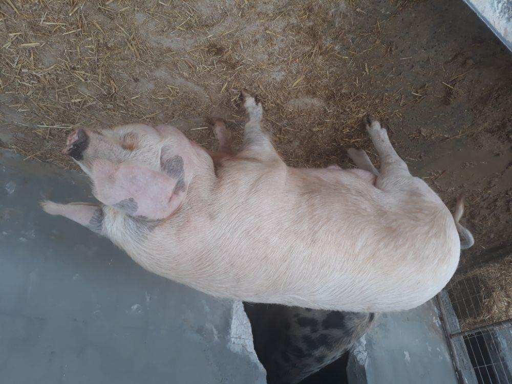 Vand porc de casa crescut natural 8 lei kg - imagine 1