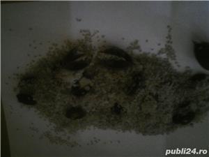 seminte de paulownia - imagine 1